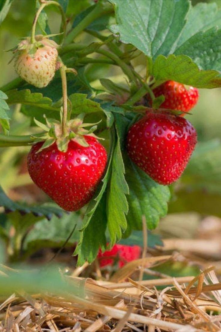 Planter les fraisiers avec la Lune en 2020   Fraisier remontant, Fraisier, Jardin de fraises