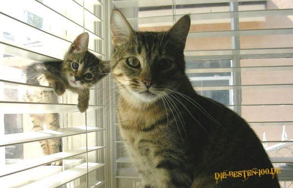 Die besten 100 Bilder in der Kategorie katzen: Katze schaut durch Jalousie
