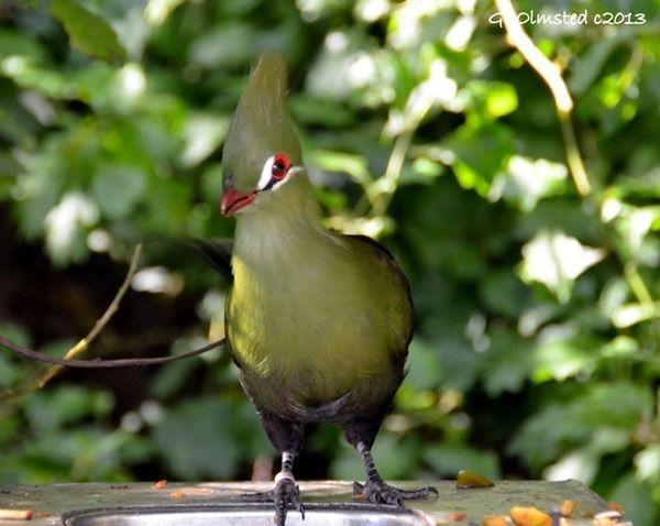 Knysna Loerie seen at Birds of Eden  http://geogypsytraveler.com/2013/11/01/foto-friday-fun-31/