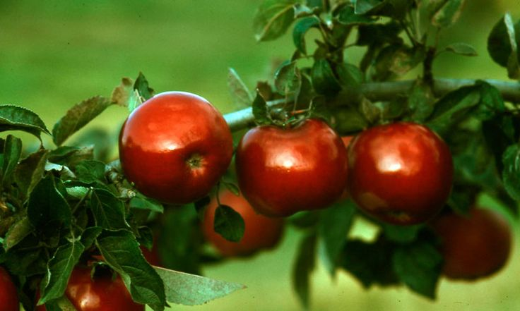 stark jon a red jonathan apple tree
