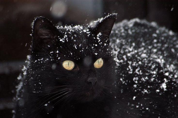 Schwarze Katze Mit Schnee Bedeckt Bedeckt Cat Catcute