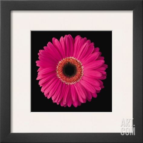 Gerbera Daisy Pink Framed Art Print by Jim Christensen at Art.com