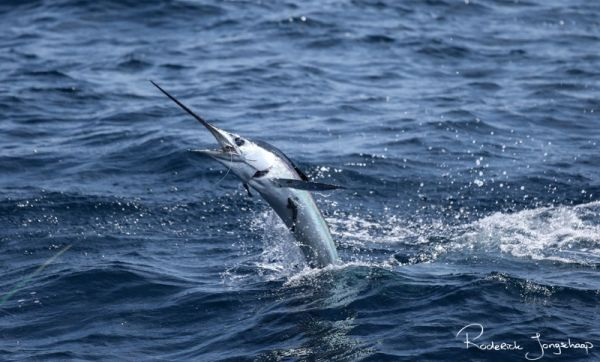 You don't have to go halfway around the world to find great billfish action.