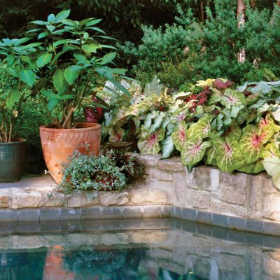 42 best potted plants for pool area images on pinterest for Plants for pool area