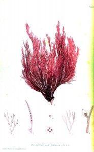 Botanical - British Sea Weed 1859 (4) vintage printable