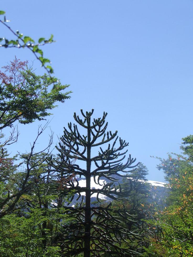 Parque Nacional Conguillio Chile