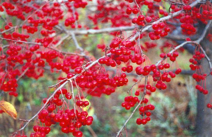 Les pommetiers (Malus) sont de petits arbres très populaires, surtout utilisés, avec raison, pour leur belle floraison printanière, mais plusieursont des attraits supplémentaires, comme un feuilla…