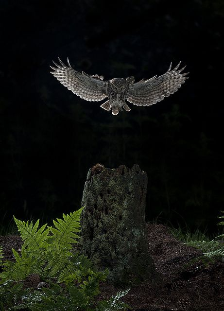 """♂ Solo bird darkness """"Little Owl"""" by Dale Sutton (@hsfnature)"""