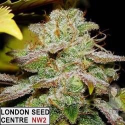 Choke Berry is a cross of a selected moondawg from brother Loompa stock that we kept over the years, she is chemdog 91 dominant ready in 9 weeks, with hard rock buds and loads of crystal.