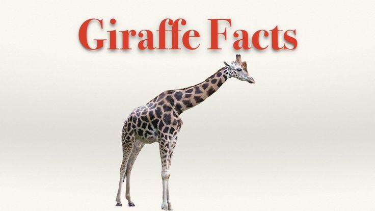 Giraffe Facts - YouTube
