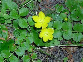 Вербейник монетный (Lysimachia nummularia), из листьев получается краска для окрашивания ткани в жёлтый цвет.