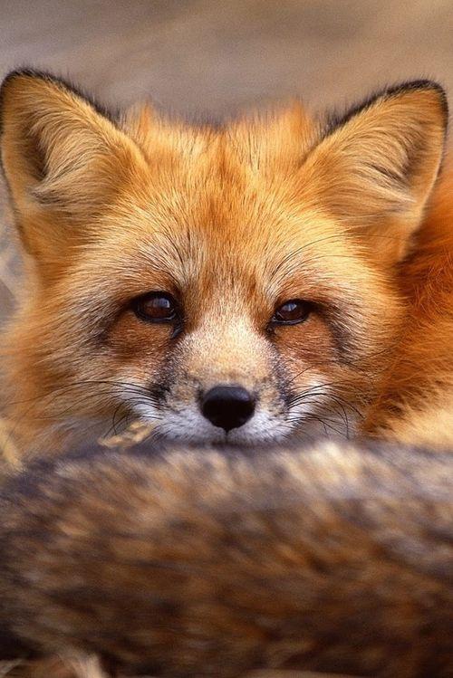 uma astuta raposa vermelha