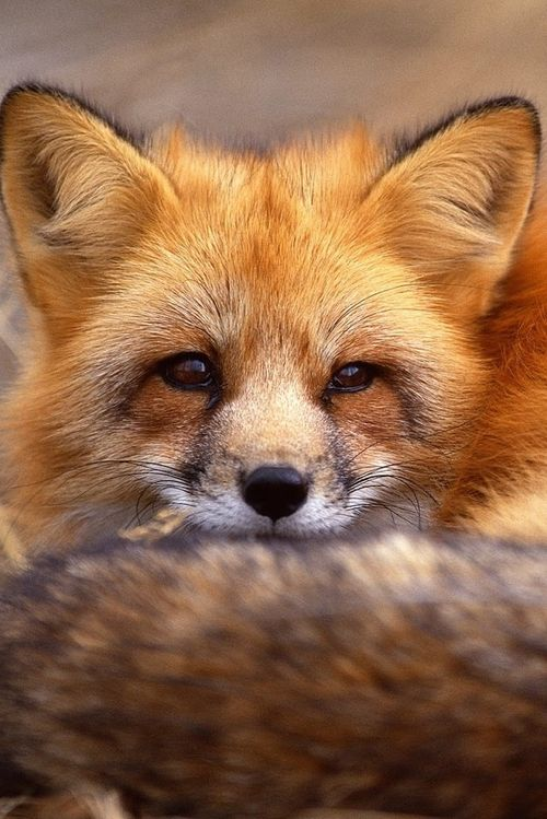 Red Foxes... the beauty                                                                                                                                                     Mais