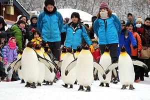 King penguins walk on the snow at Asahiyama Zoo during the annual penguin stroll