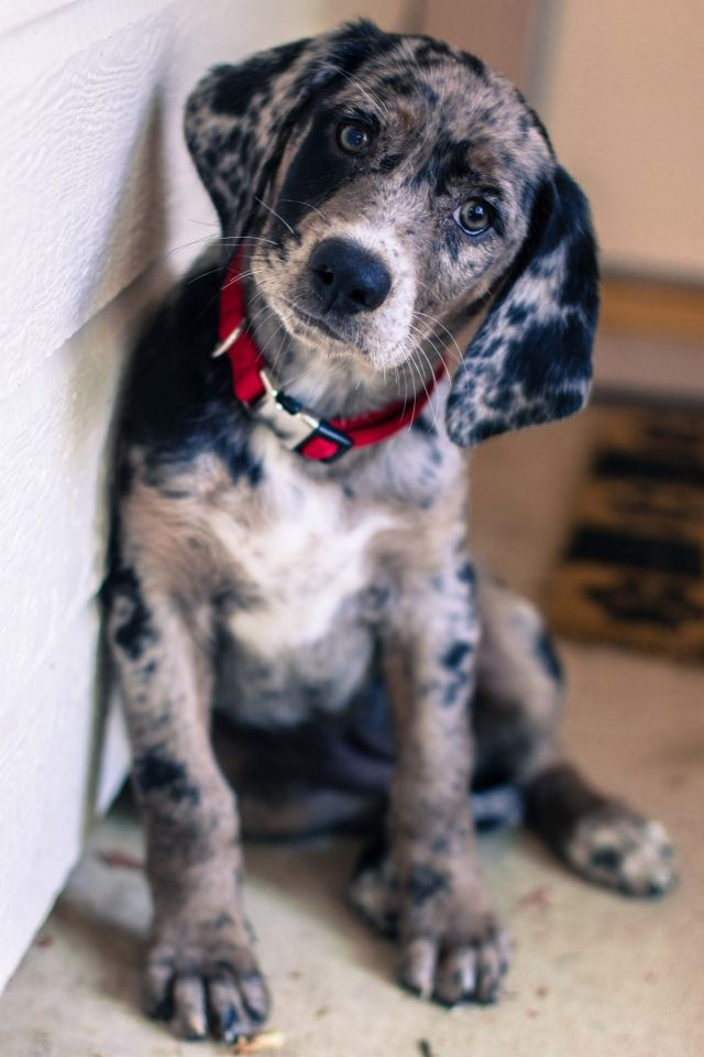 Bluetick Coonhound/Labrador Retriever Mix