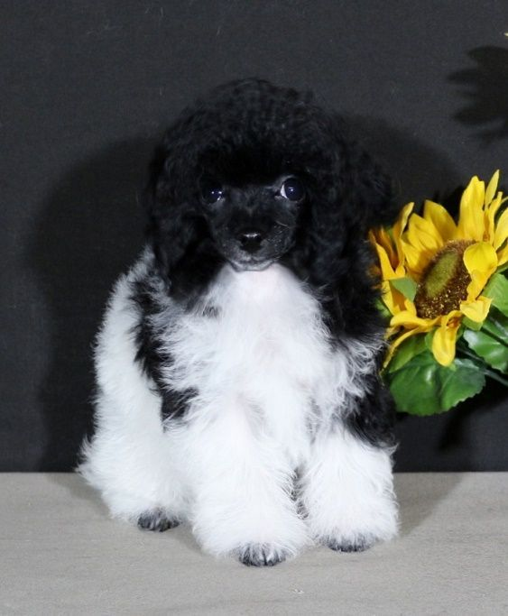 Poodles Teacup Puppies For Sale Teacup Poodle Puppies For Sale In