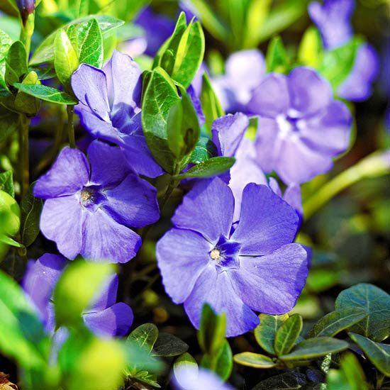 Weed-smothering groundcover: Vinca - Enjoy vinca's colorful blooms from spring through fall. The blue, purple, or white flowers provide a colorful accent to the shiny, green foliage. This easy, adaptable groundcover tolerates a wide range of soil conditions.  Note: It can also grow very quickly -- to the point some gardeners call it invasive.  Name: Vinca minor.  Growing Conditions: Part to full shade and moist, well-drained soil.  Size: 8 inches tall.   Zones: 4-9