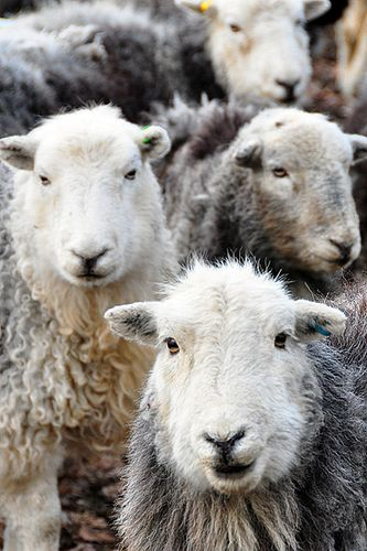 I love sheep.