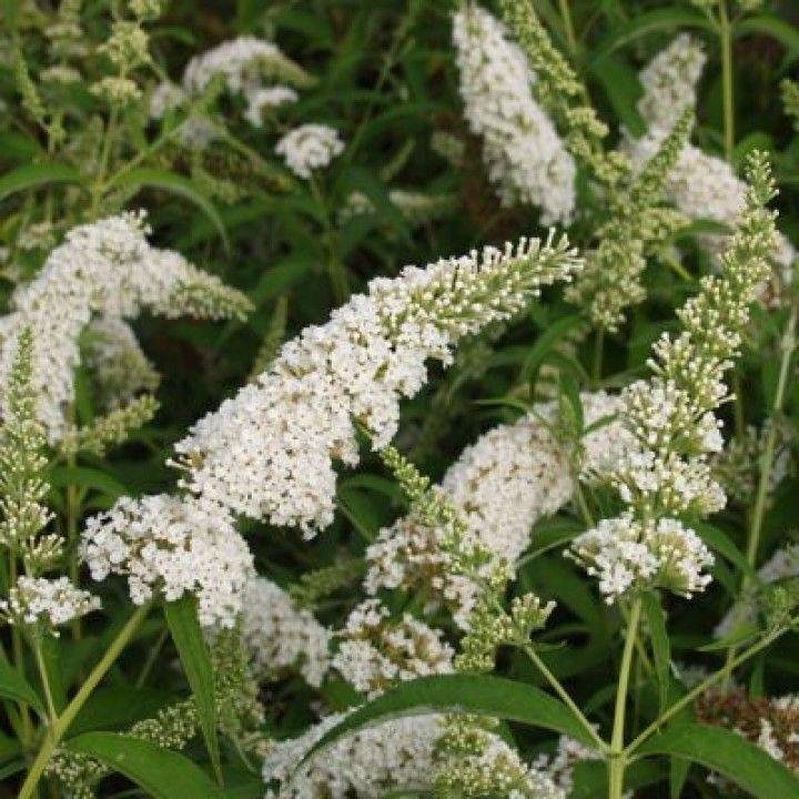 Buddleja davidii 'White Bouquet' (Vlinderstruik)
