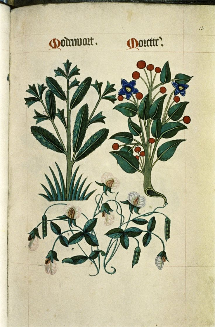 "Madder and Belladonna, Pea with flowers and pods, in ""The Tudor Pattern book"", ca. 1520/30, Ms Ashmole 1504"
