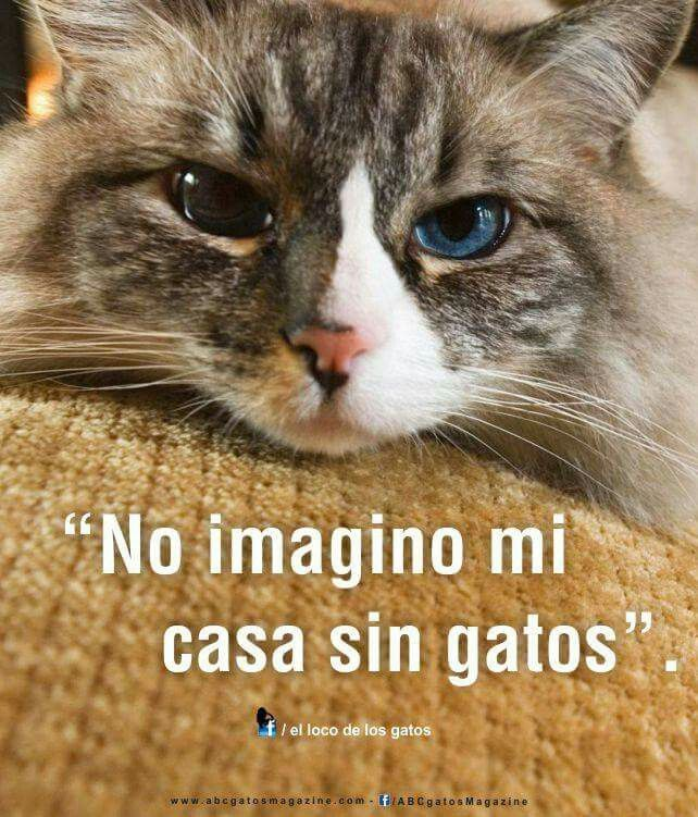 Type 1, Cat Quotes, Facebook, Cat Facts, Magazine Photos, Pride, Cats,  Frases, Quotes About Cats. Find this Pin and more on frases de gatos ...