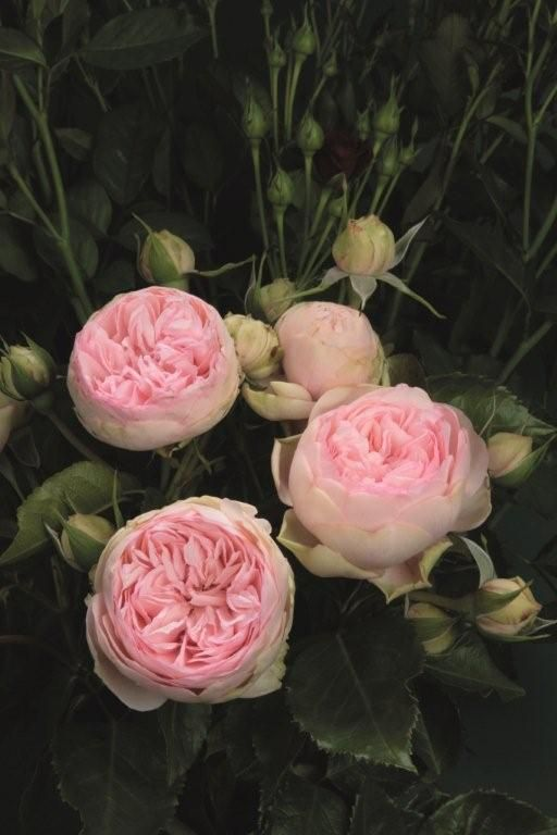Roses In Garden: 18 Best Images About Piano Roses On Pinterest
