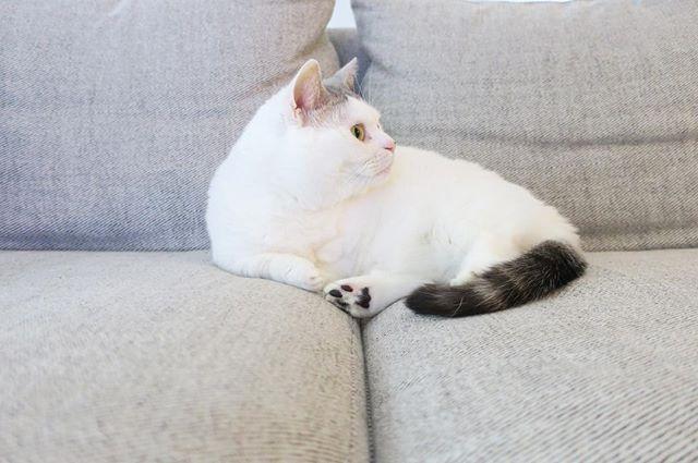 ソファはいっちょまえに2人分のスペースを陣取る。 そんなスワ様は我が家の大黒柱。 みなさますてきな3連休を。  #ねこのいる生活 #猫と暮らす #愛猫 #マンチカン #cats #catlover #instagood #instacat #catstagram #catsofinstagram #munchkin #neko #nekostagram #munchkinlovers