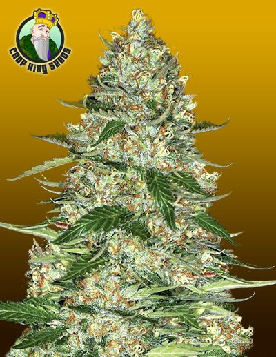Get your Northern Lights Seeds!