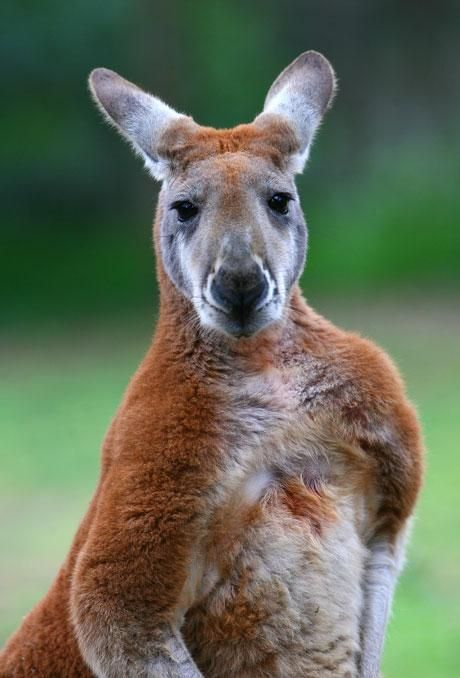 A red kangaroo at Healesville Sanctaury. Red kangaroos are the largest kangaroos. There are over 60 types of kangaroos.  All except the tree kangaroo are native to Australia. From the small wallabies to the large red kangaroo.  Brought to you by Femme Classic Art http://www.femme-classic-art.com