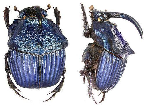 Family: Scarabaeidae Size: 15-26 mm Distribution: Guatemala Location: Guatemala, Chimaltenago leg 1978, det. U.Schmidt Photo: U.Schmidt, 2006