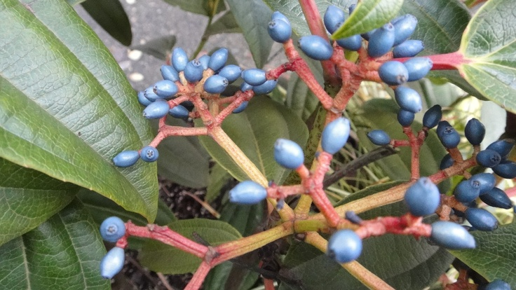 My photo of Viburnum davidii in West Van neighborhood; true blue berries