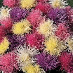 Aster chinensis 'Spider Chrysanthemum Mixed'