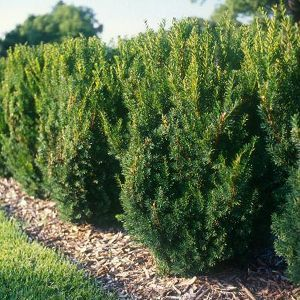 Hick's Yew hedge on the back fence line