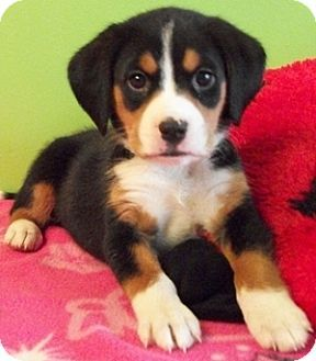 beagle german shepherd mix puppies - Google Search