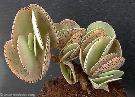 plante grasse rare
