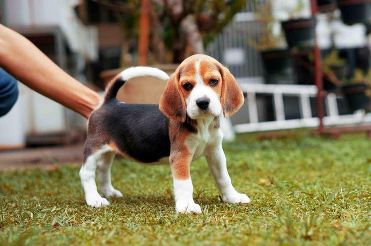 Beautiful male beagle  www.riofarm.com