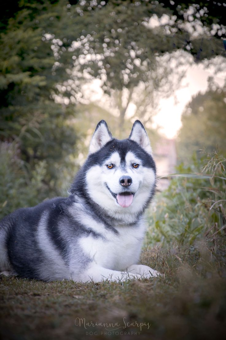 Lupo | Siberian Husky | Photo by Marianna Scarpis