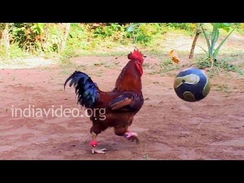 Eying World Cup? Get him in team – cock playing football