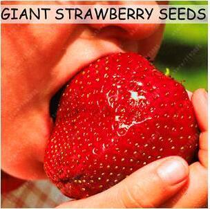 Fruit seeds 300pcs Super Giant Strawberry perfume bonsai strawberry fruit, edible strawberry seeds for home garden plant
