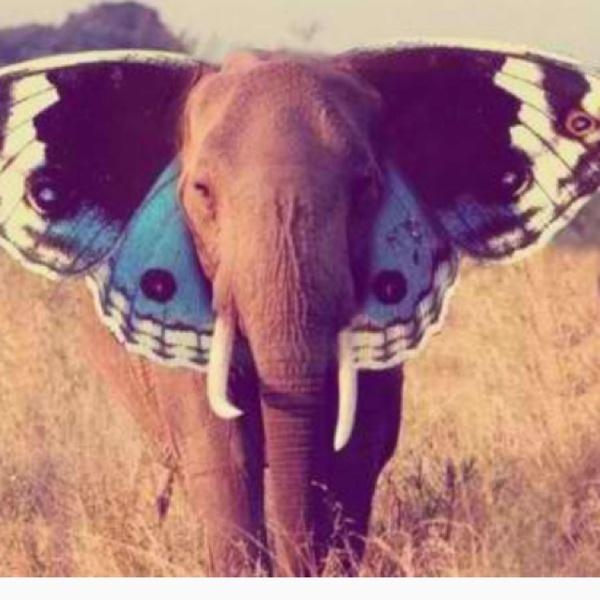 butterly elephant