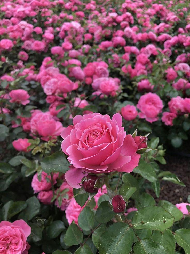 Pink roses beauty ful. Fragrant.. Full. Pembe güller güzellik. Kokulu.. Dolu.