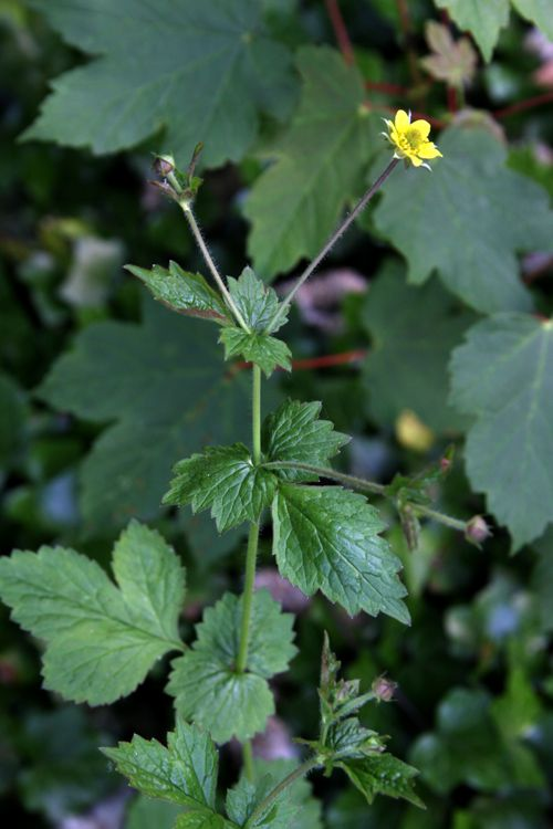 Wood Aven - Geum urbanum - NL: Geel nagelkruid / F: Benoîte - Other popular names: herb Bennet, colewort and St. Benedict's herb Wood avens, as its name suggests, is found in woodlands and other shady places. The young leaves can be eaten, cooked as potherb. Older leaves can be dried and powdered to be added to herbal salt. The roots can be harvested...