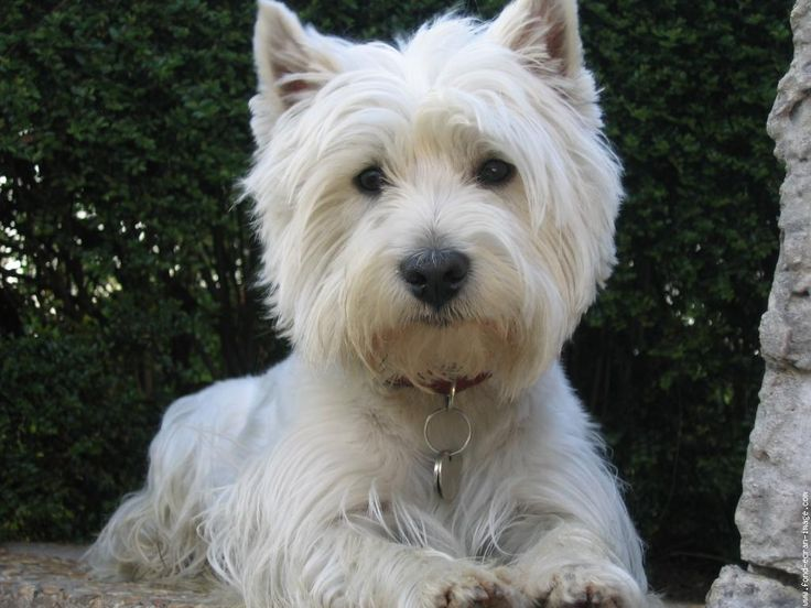 Westies are Awesome!  Looks like Coco  except the ears are up. I love my Westie-poo <3 :)