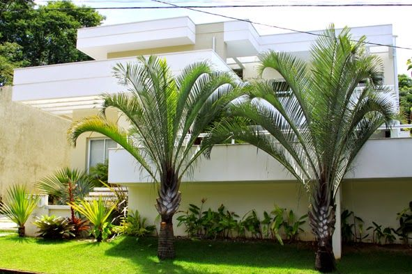 Dypsis decaryi - Palmeira Triangular