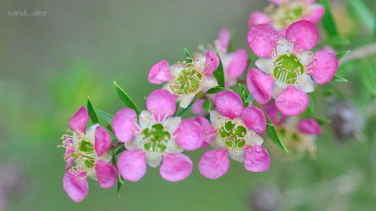 Pink tea tree Aphrodite leptospermum  Bar Point NSW Oct 15