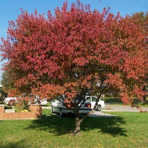 Achat Acer Ginnala - Erable de l'Amur - Plante 60-90 cm en racine nue. L'Acer ginnala ou Erable de l'Amur est un petit arbre vigoureux.