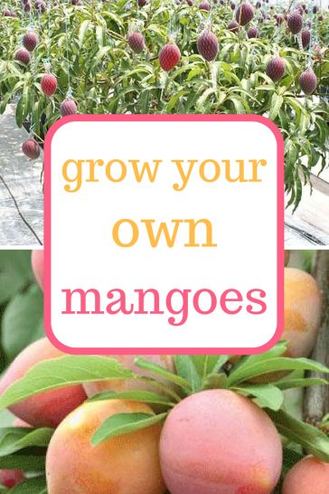 Learn how to grow your own Mango trees! Gardening, indoor Gardening, Indoor Gardening Hacks, Tips and Tricks, Fruit Tree Care, How to Care for Fruit Trees
