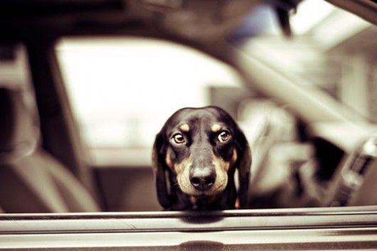 dachshund: Doggie, Car, Animals, Dogs, Pets, Doxies, Puppy