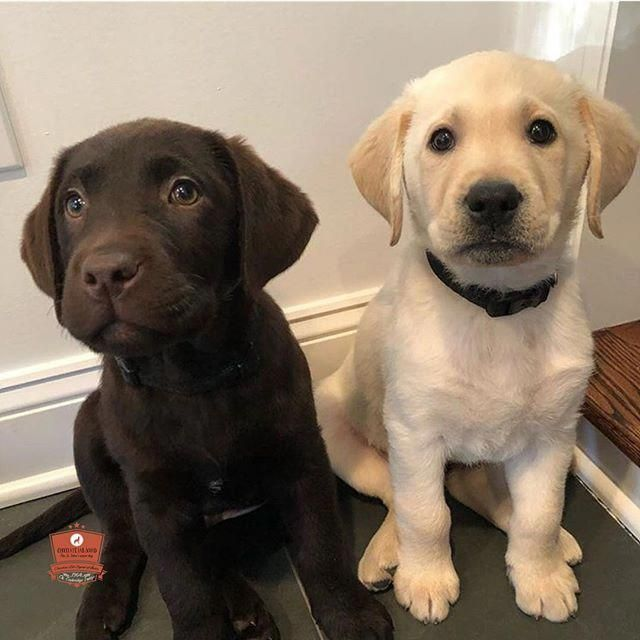 Most Current Pics Labrador Retriever Cute Style Performed You Only