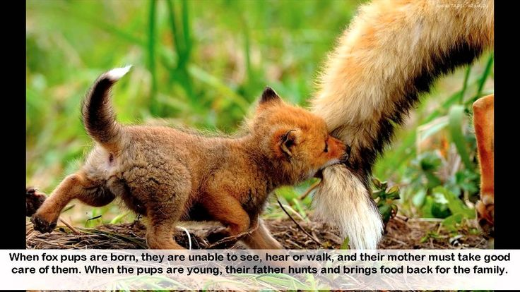 Facts about Foxes - 12 interesting Facts about Foxes